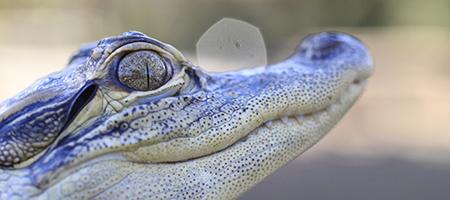 Alligator_450x200_1431035_56473846.jpg
