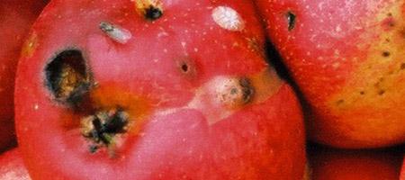 apples-1484824_450x200.jpg